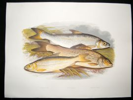 Houghton 1879 Folio Antique Fish Print Vendace, Gwyniad, Grayling